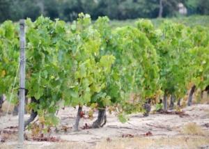 Trouwen in een wijngaard